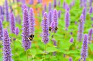 Anise Hyssop 100 seeds, Agastache -Scented,long blooming,upright perennial